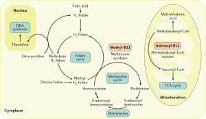 Interrelation-between-folate-vitamin-B12-and-homocysteine-metabolism-AdoHcy