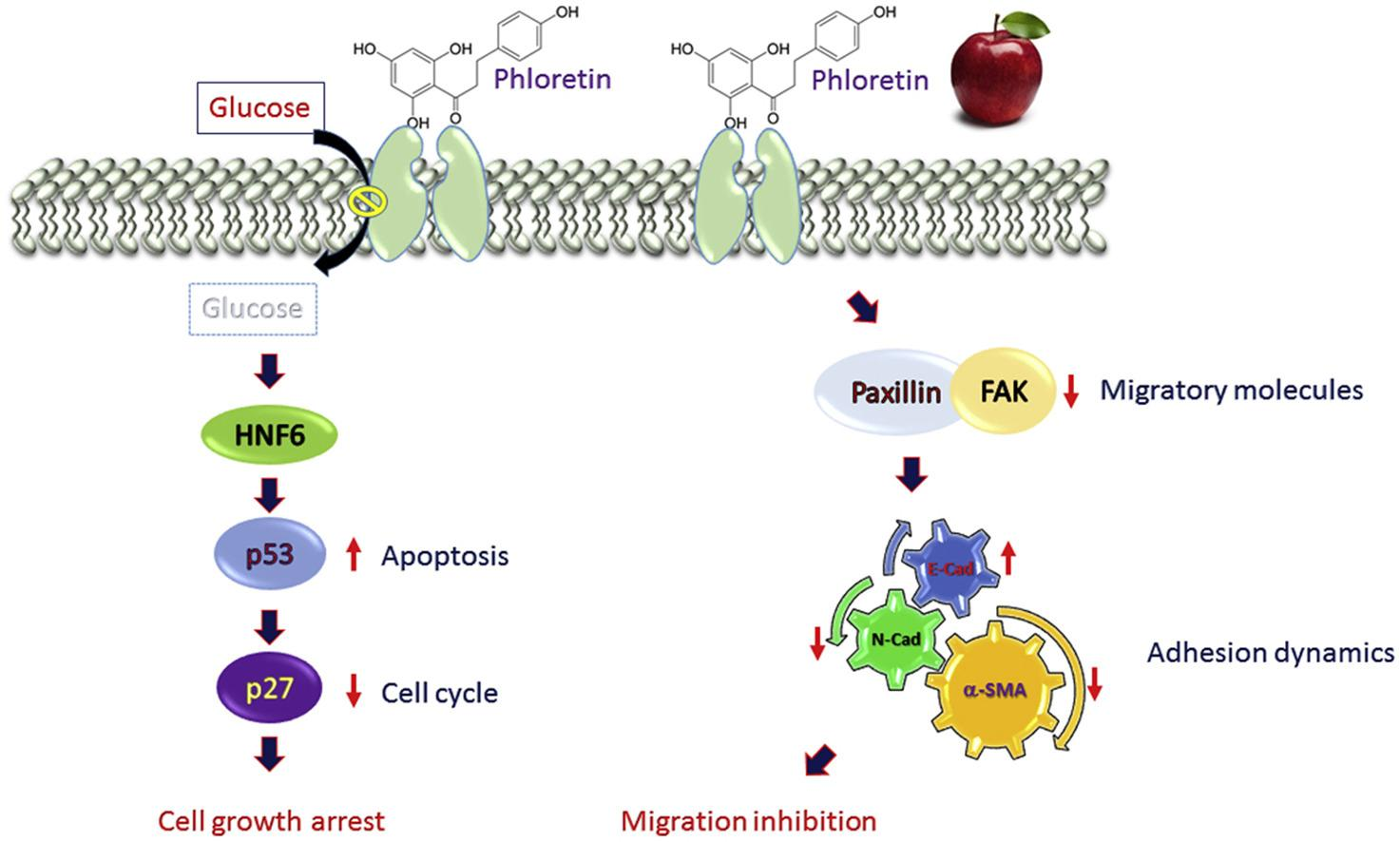 The apple polyphenol phloretin inhibits breast cancer cell migration and proliferation via inhibition of signals by type 2 glucose transporter
